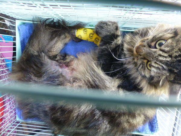 Le 08.09.14. Le chat s'en tire avec une fracture complexe du fémur.