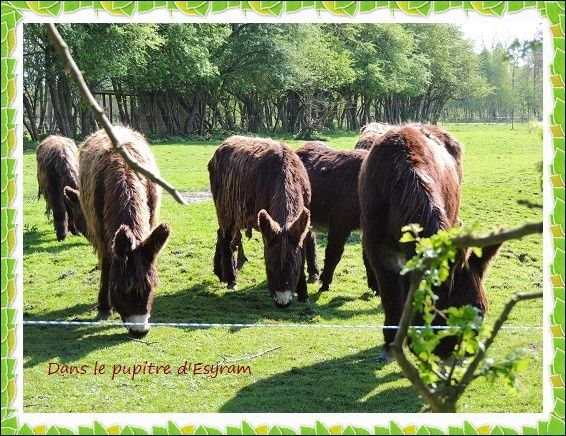 Violette et les ânes ( suite )