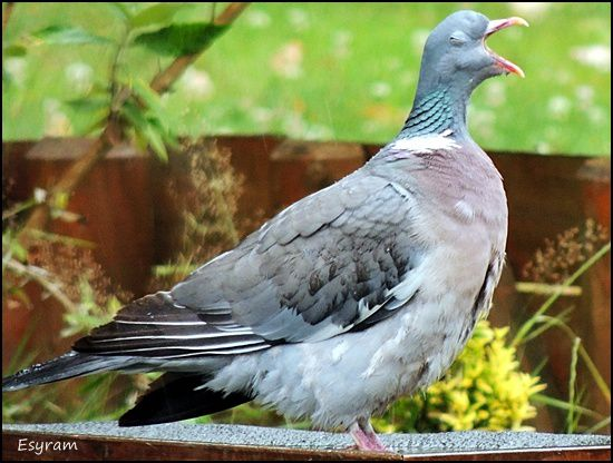 "N° 4 "" Pigeon-baille """