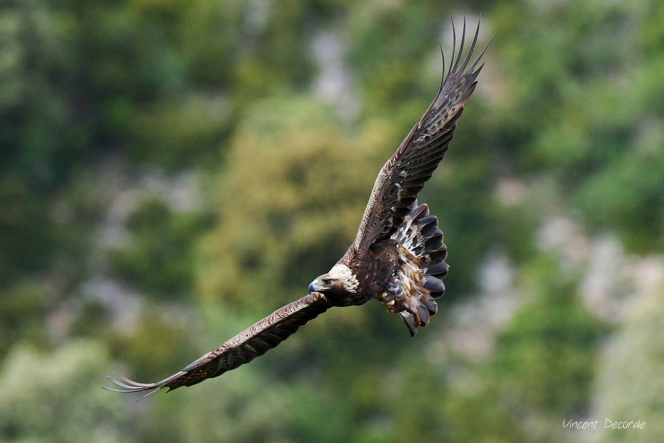 samedi, pour tout savoir sur l'aigle, à la salle culturelle