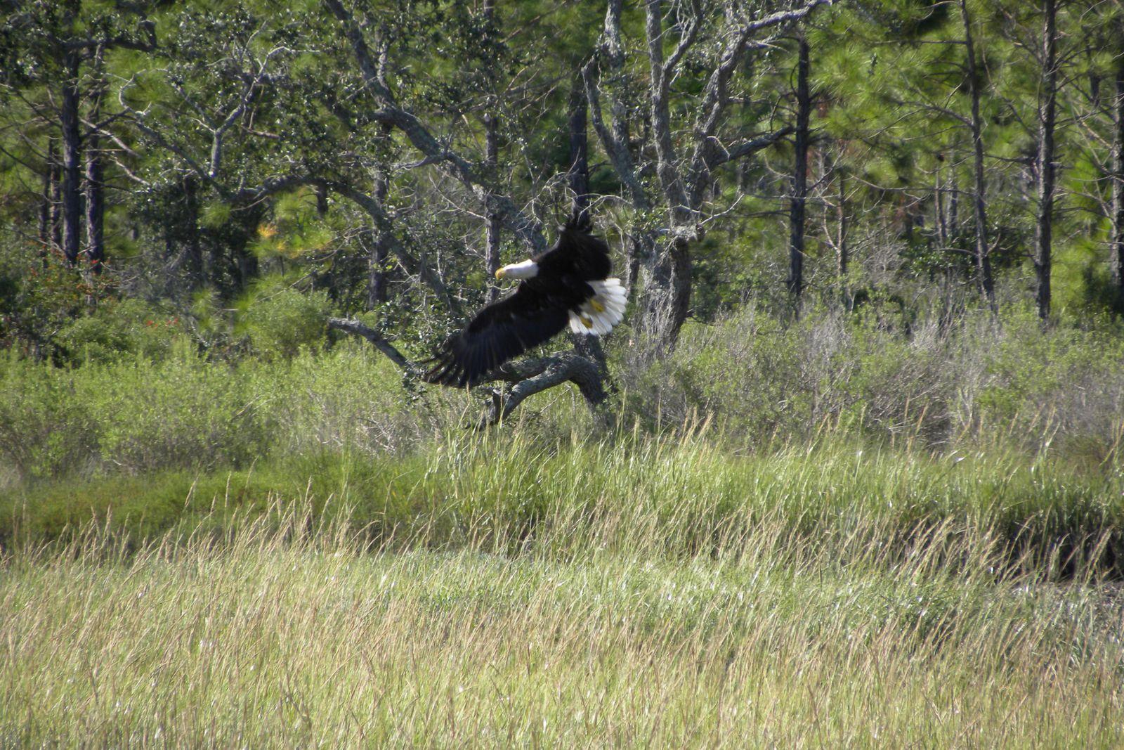 De haut en bas : Aigle chauve (bald eagle), Bald Point. Ces photos ont été prises par Mike lors de son récent voyage en Floride.