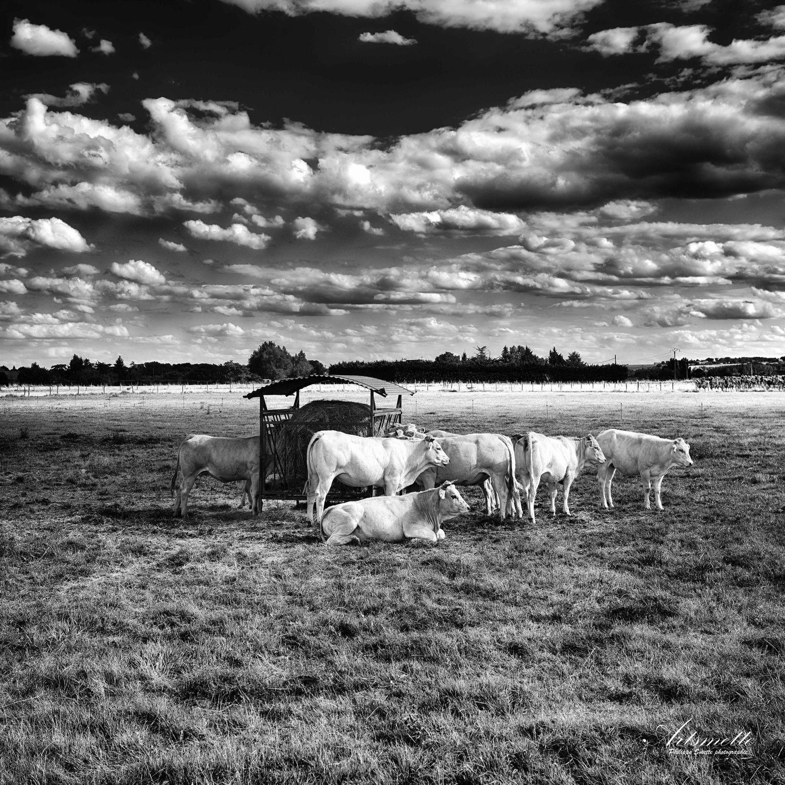 Le troupeau - Indre-et-Loire