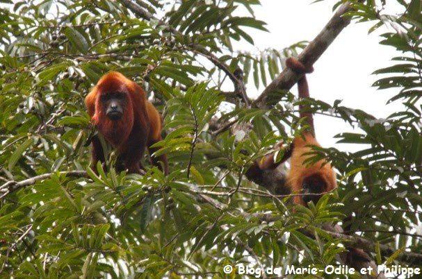 Le singe Hurleur roux de Guyane (Alouatta macconnelli)