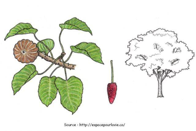 L'arbre Sablier ou Pet du diable (Hura crepitans)