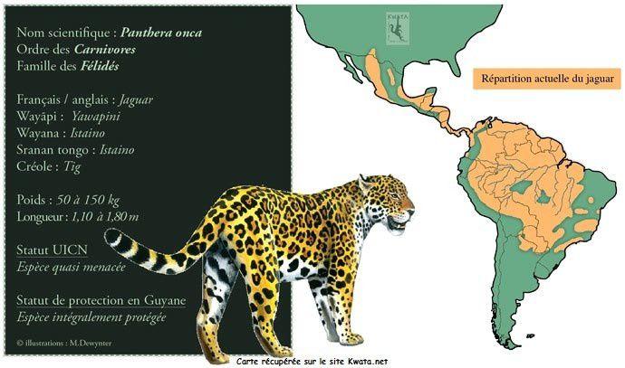 Jaguar de Guyane (Panthera onca)