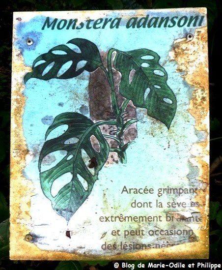 Monstera adansonii, une plante grimpante dangereuse ?