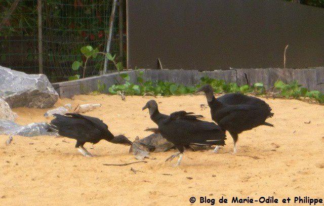 L'Urubu noir (Coragyps atratus)