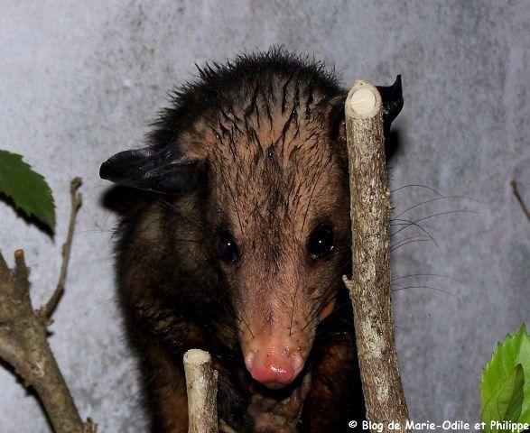 L'opossum commun ou Pian (Didelphis marsupialis)