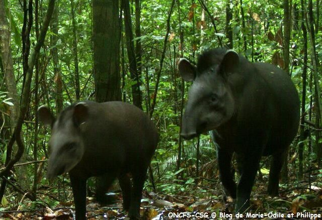 Le Tapir ou Maïpouri en Guyane (Tapirus terrestris)