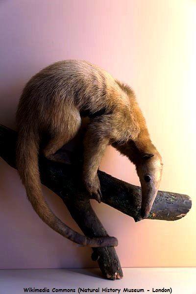 Le Tamandua ou fourmilier (Tamandua tetradactyla)