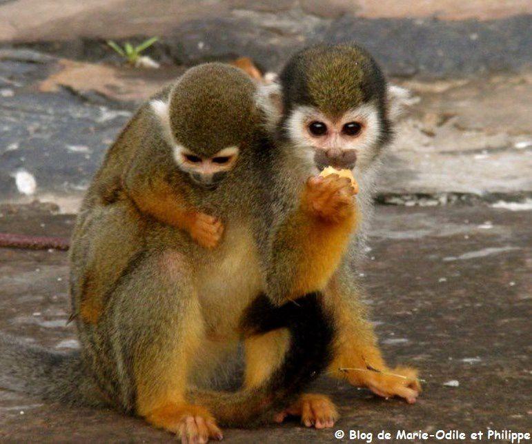 Le singe écureuil ou Saïmiri (Saimiri sciureus)