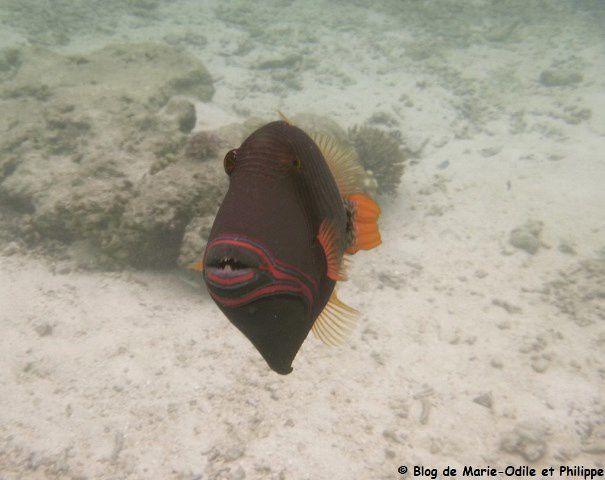 Après quelques minutes à observer sa photographe, le poisson baliste strié a finalement décidé de passer son chemin ...
