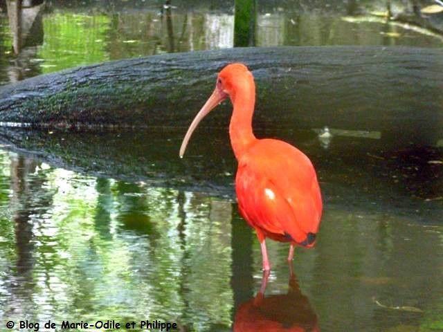 L'Ibis rouge (Eudocimus ruber) en Guyane