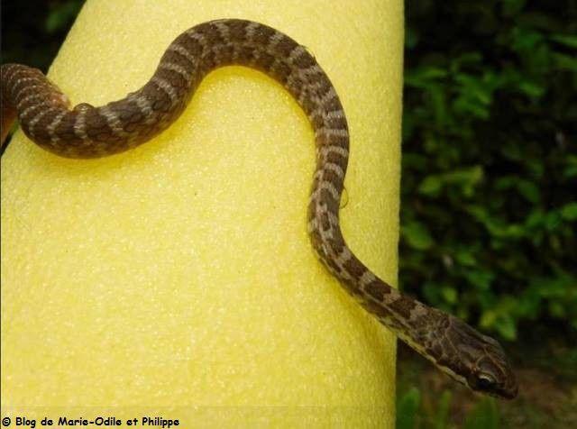 Un serpent dans notre piscine à Montjoly !