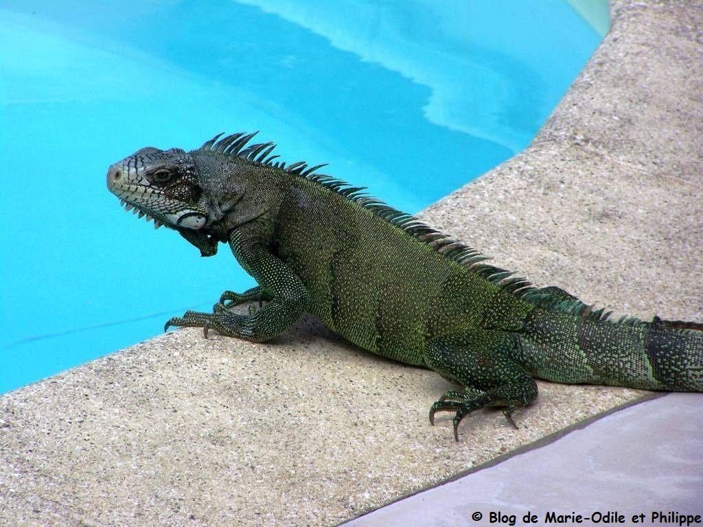 Notre iguane se balade autour de la piscine