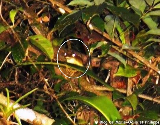 La grenouille est sur sa branche, surprise par l'éclair lumineux du flash photographique.