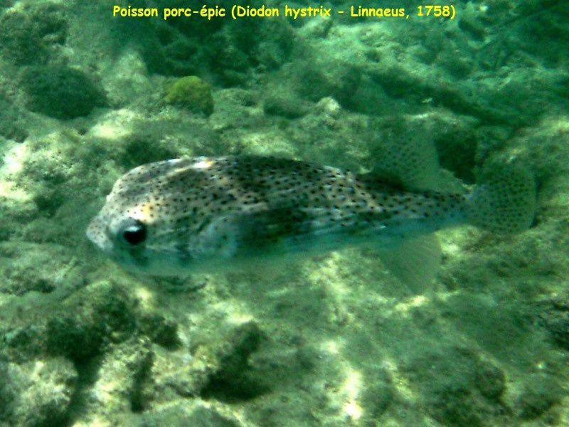 Photos de poissons de Bonaire dans les Antilles néerlandaises en juillet 2013