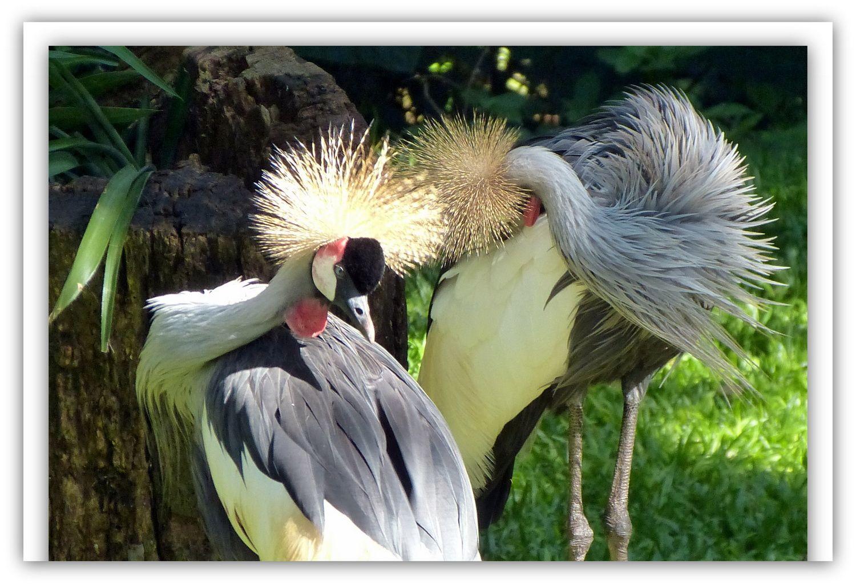 Puis régal des yeux au « parc das Aves » en pleine forêt tropicale où volent de malins toucans , dansent de gracieux flamants, etc.. Bref, 800 oiseaux tropicaux tous plus beaux les uns que les autres ! Le soir ventrée de viandes argentines toutes plus succulentes les unes que les autres dans ces buffets à volonté pour une dizaine d'€ !!