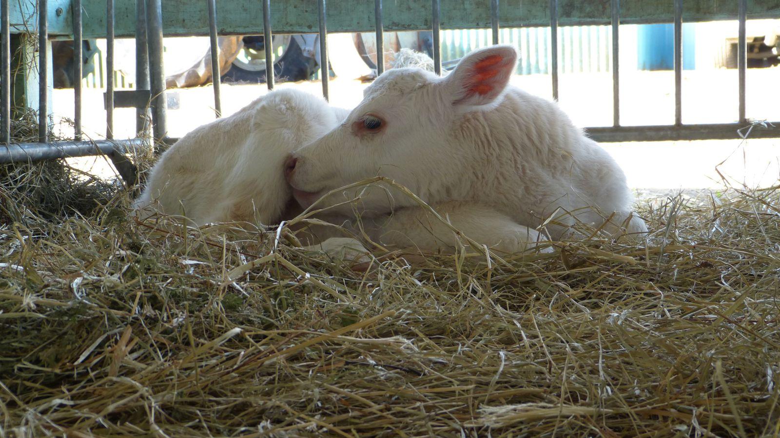 La vache brahmane primée, la tonte néozélandaise de moutons , le cheval damatien et les détails photographiés par faustine.