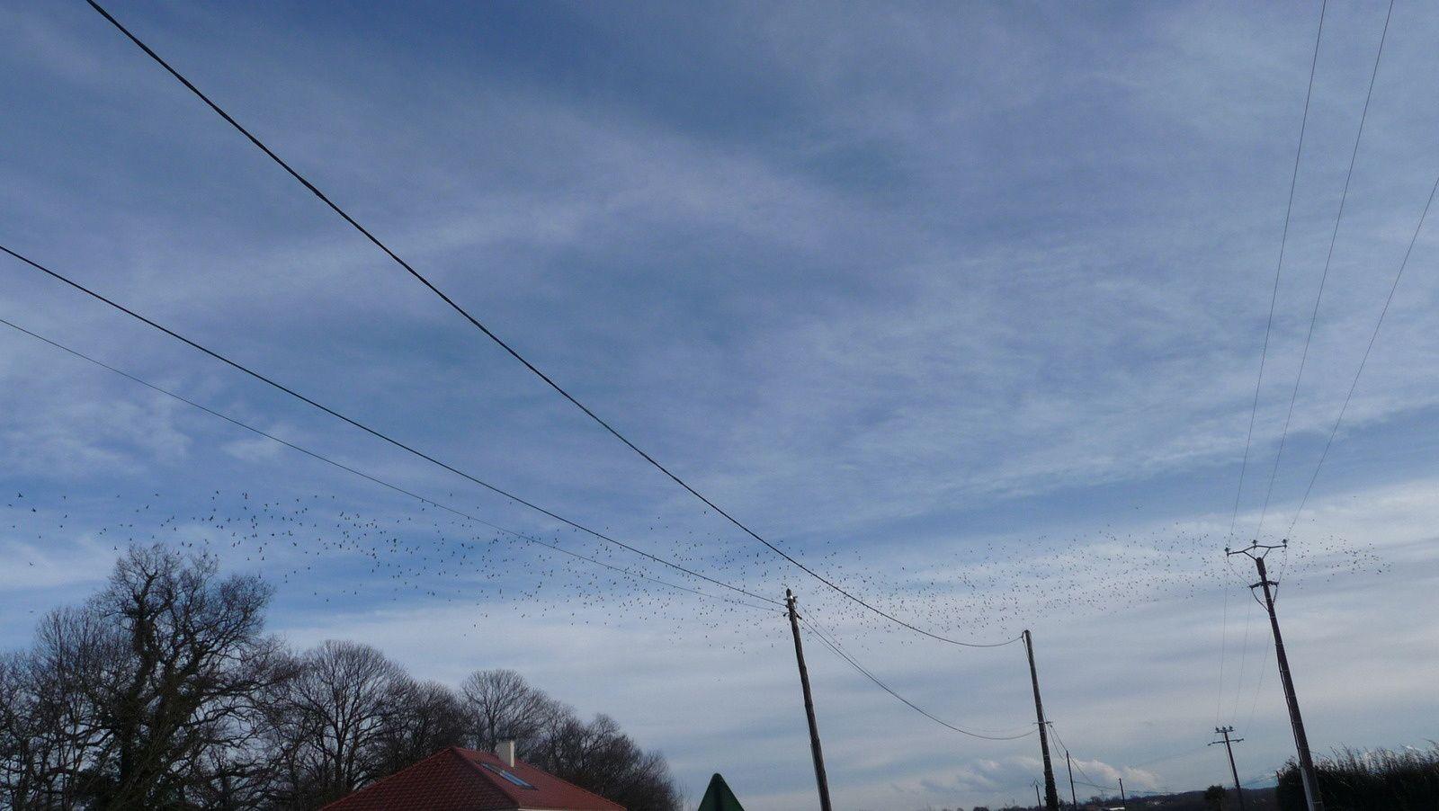 Un beau vol de palombes sur Lonçon