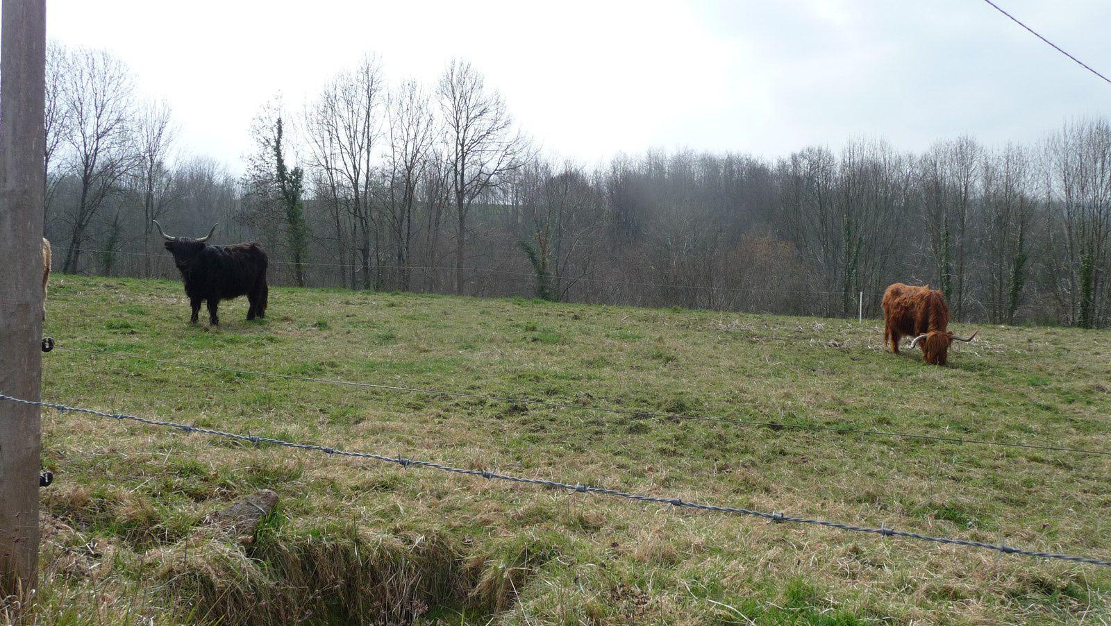 Deux vaches  Highlands