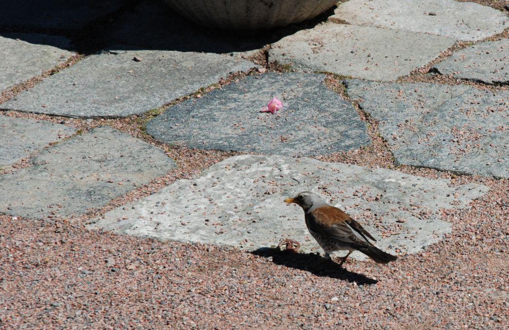 Voici un björktrast (grive litorne), qui se débat avec un ver de terre dont il compte faire son repas. Devant le restaurant du parc botanique de Göteborg.