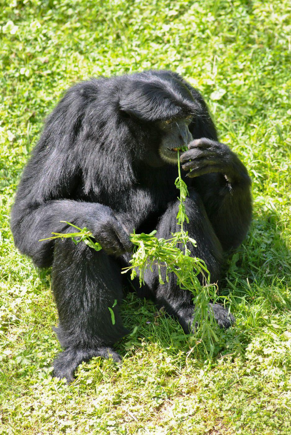 Singe Gibbon, zoo de Doué la Fontaine. (photo prise le 6.05.2013)