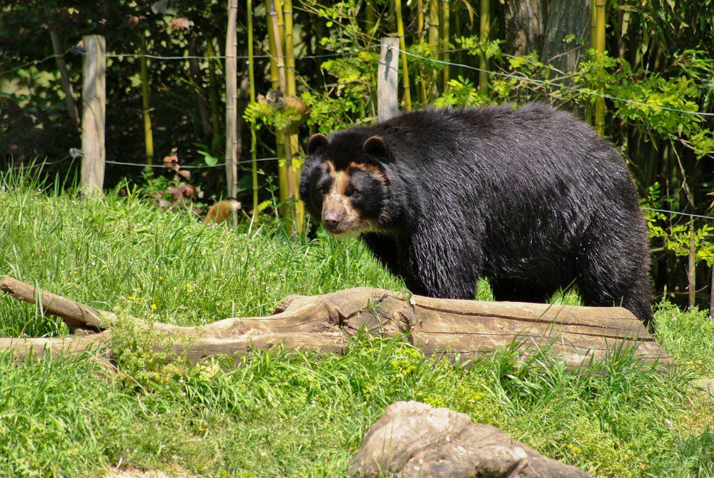 Ours: Zoo de Doué la Fontaine. (Photo prise le 6.05.2013)