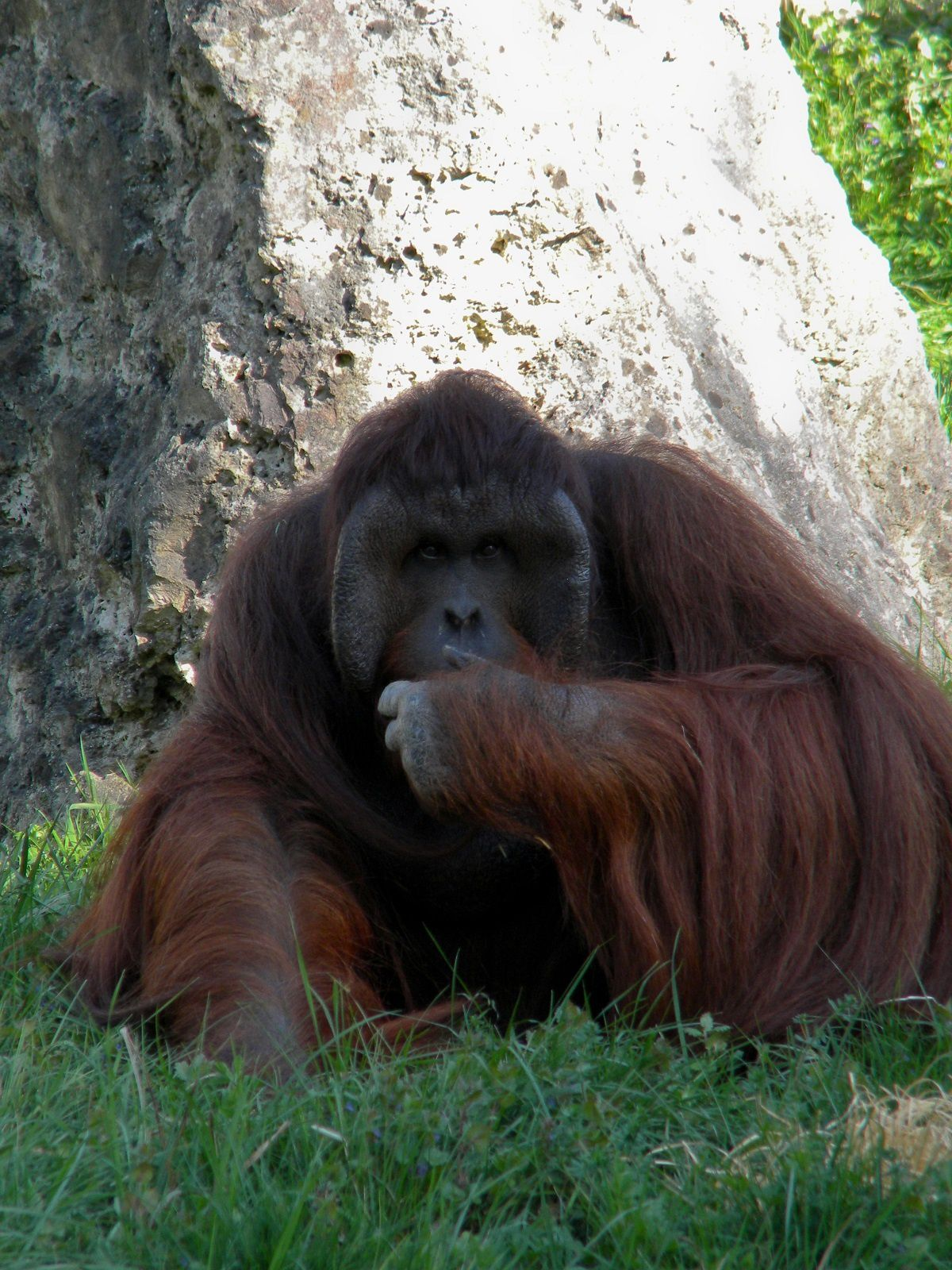 Singe au zoo de Beauval: (Photo rediffusée)