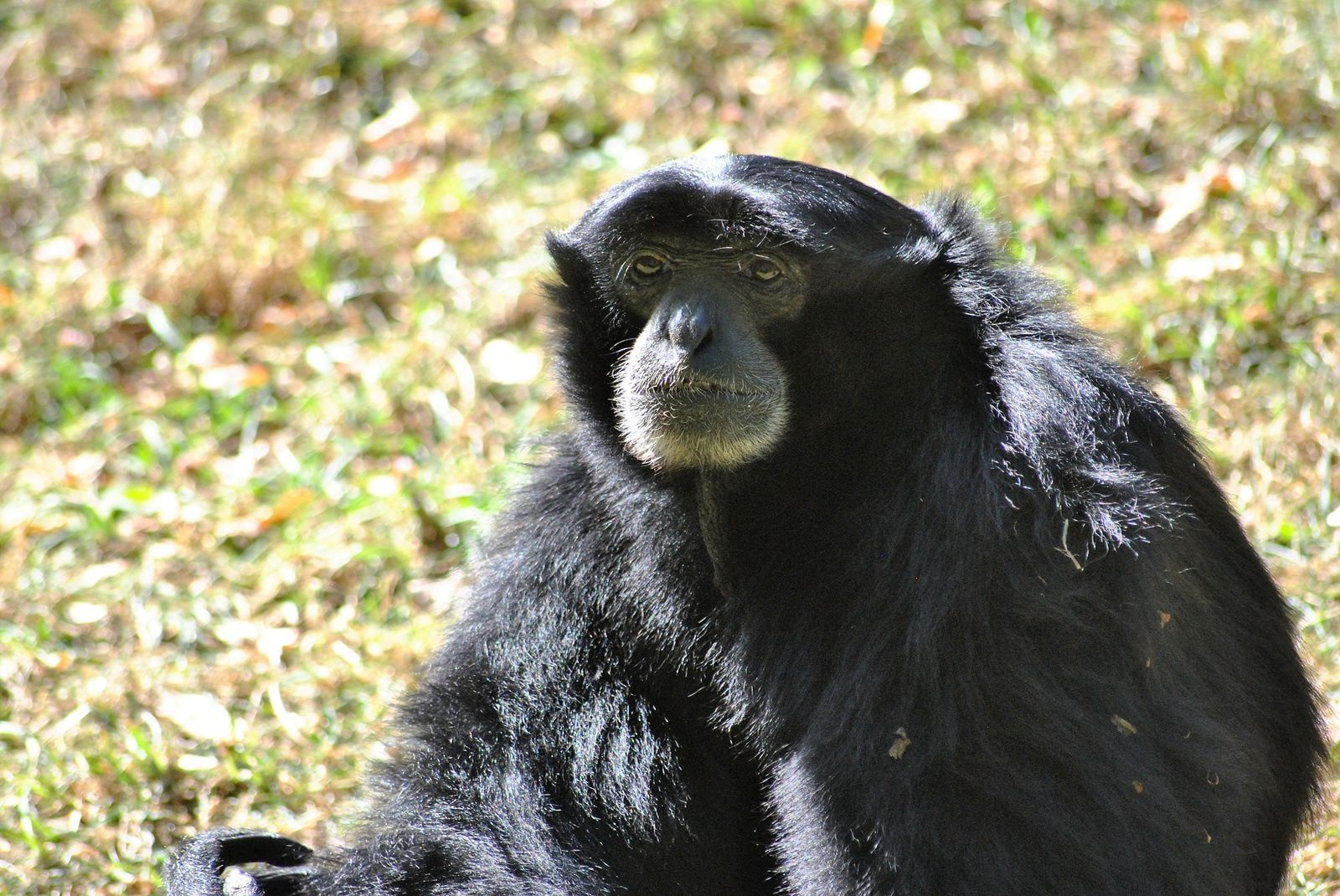 Zoo de Doué la Fontaine: Singe Gibbon Siamang&#x3B; (Photo prise le 1.09.2016).