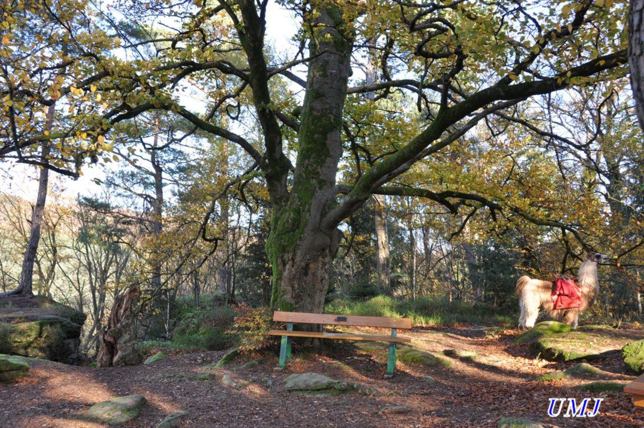 Au pied d'un chêne table et banc