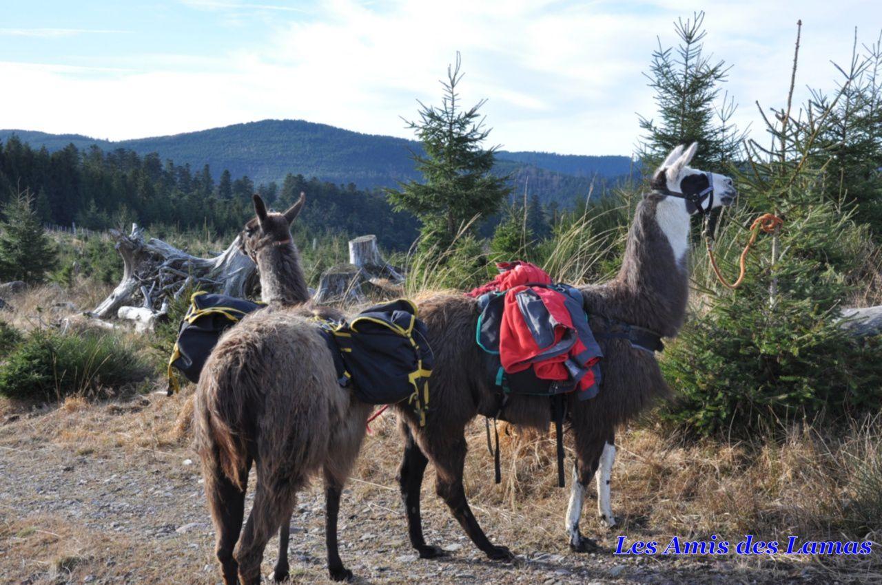 Nos lamas nous attendent sur le chemin