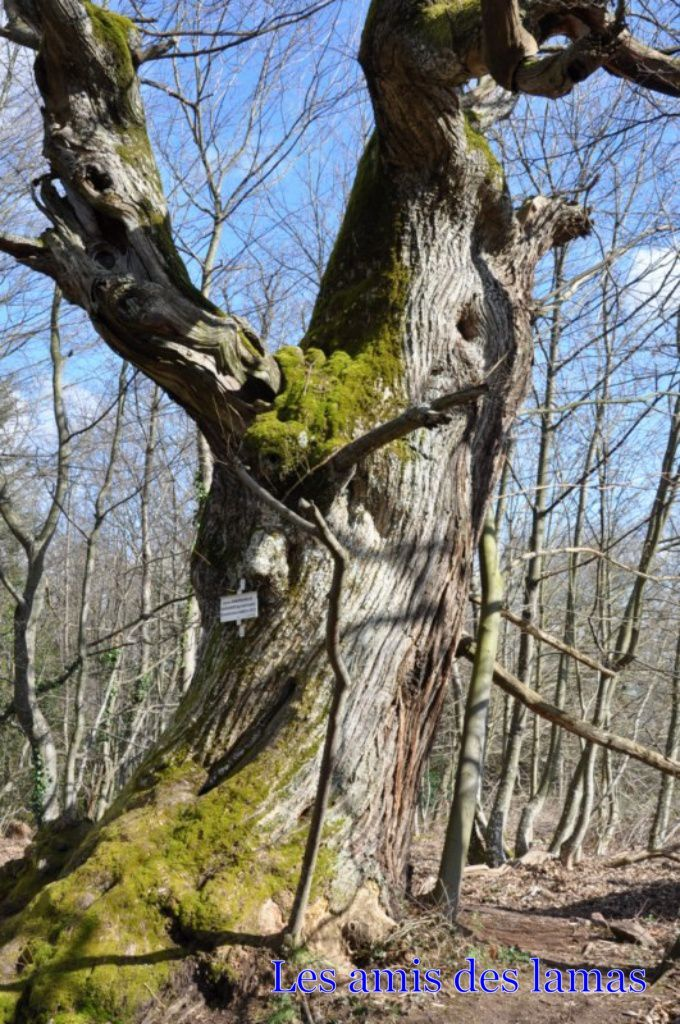 Arbre remarquable (chataignier)