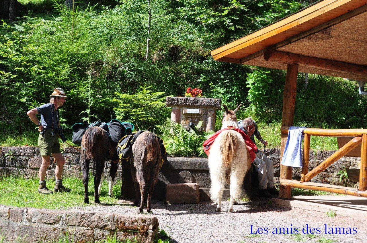 Nos lamas à la fontaine du schliffstein