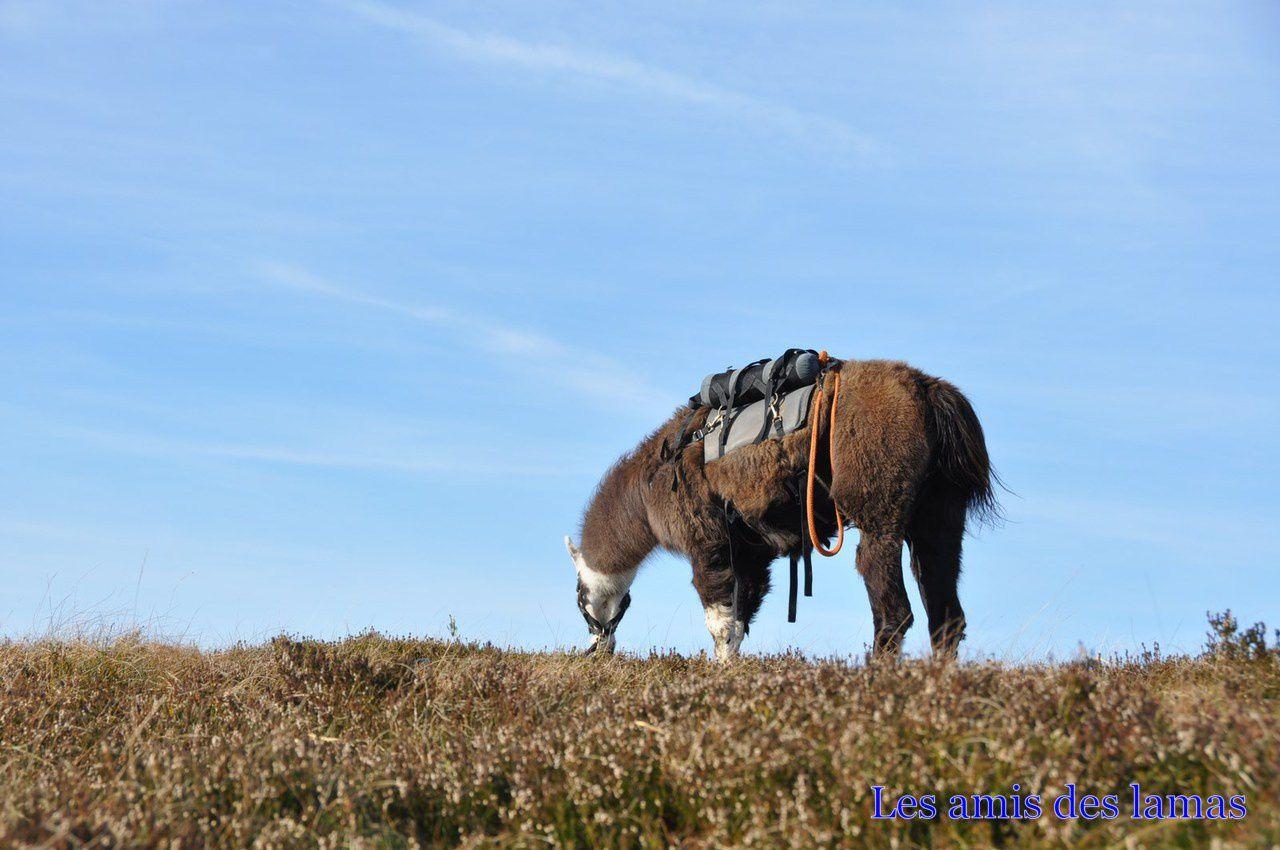 Déjeuner au gazon de faîte, avec beaucoup de randonneurs autour de nos lamas qui en profitent également pour déjeuner