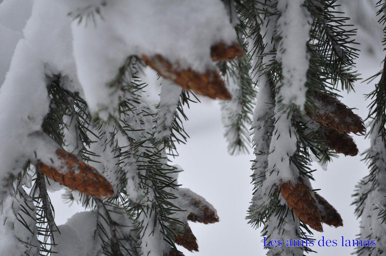 Cône de sapins sous la neige