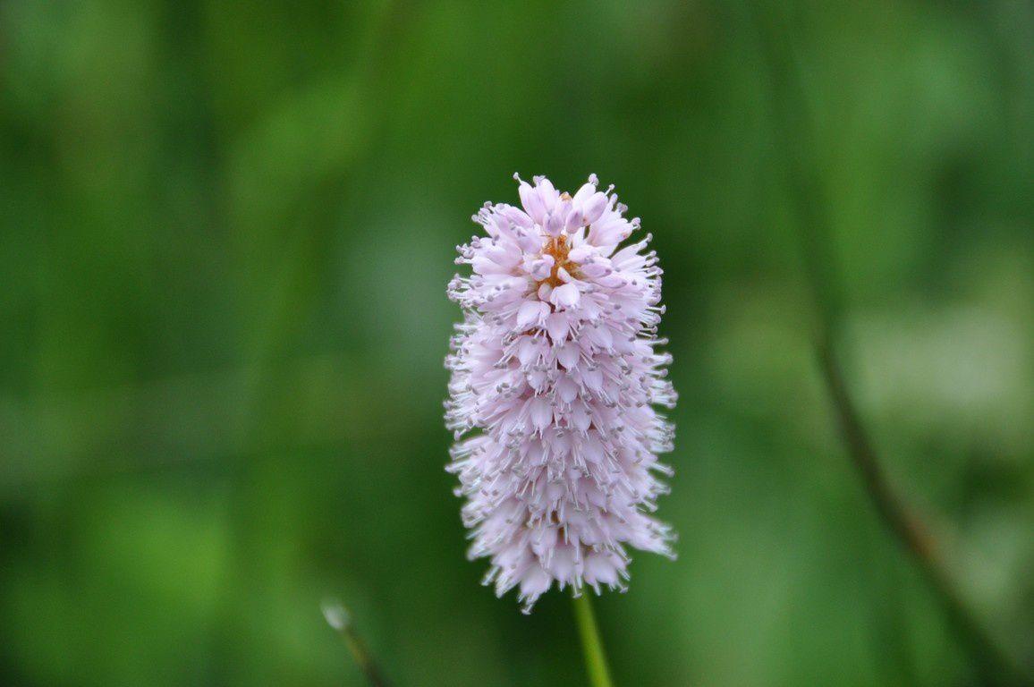 Toute la flore de montagne est là :Renoué-bistorte, orchis tacheté ou maculata,orchis mâle ou mascula, platanthère à deux feuilles