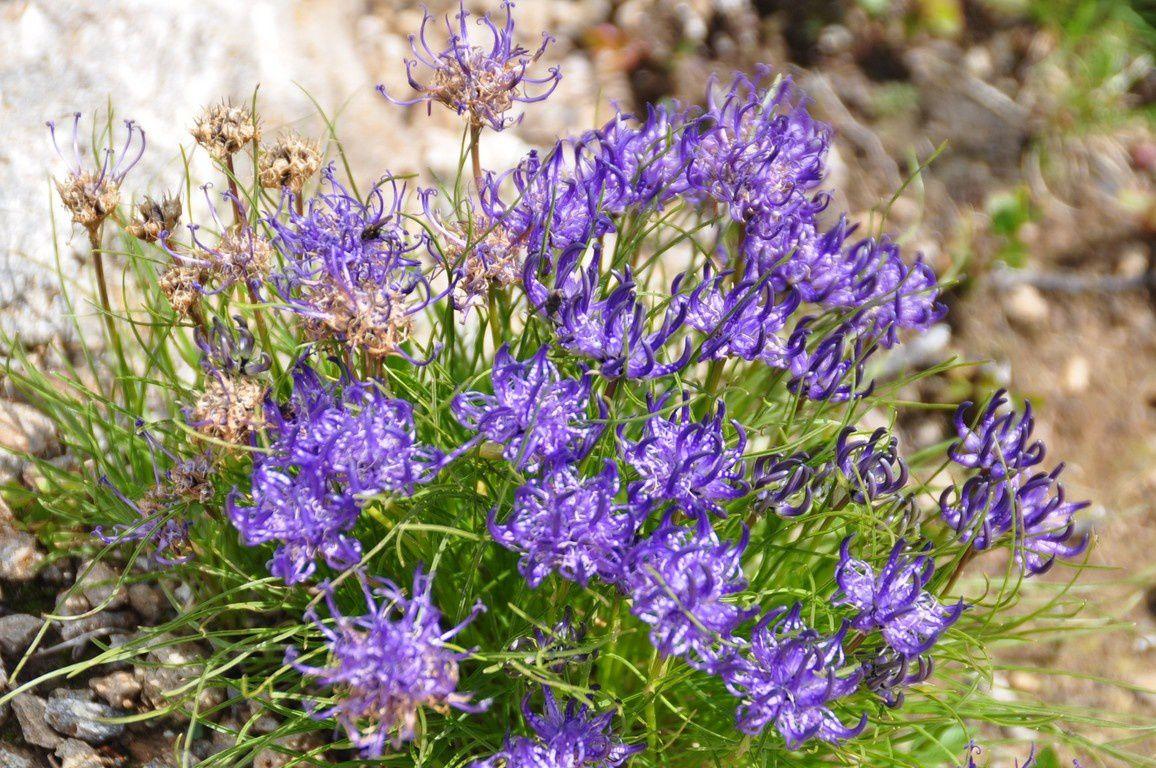 Notre remontée en direction de la Klein Scheidegg , les fermesd'alpages et les fleurs.....Grande astrance,  Raiponce hémisphèrique......