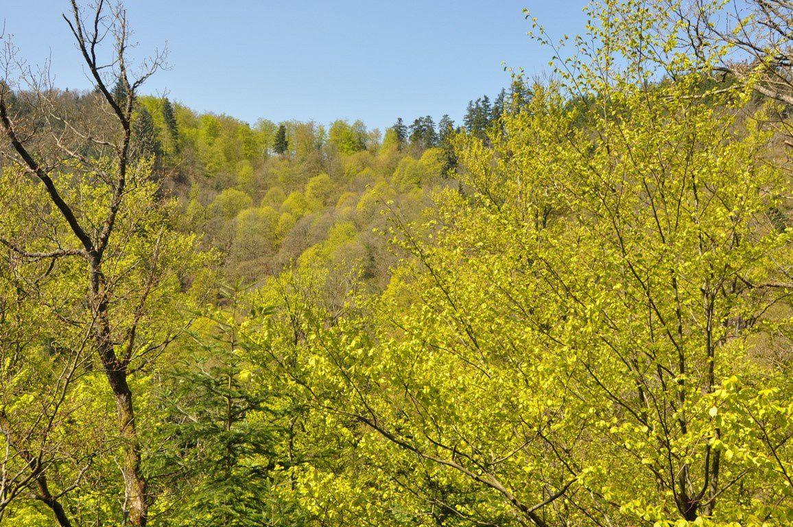 La montée au Rosinelfelse , le printemps est vraiment là !  La nature explose !
