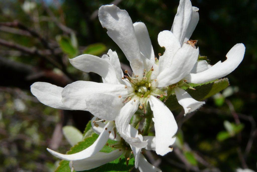 Le même site les 10.04.2011 et 6.4.2014  :   les Amélanchiers en fleurs