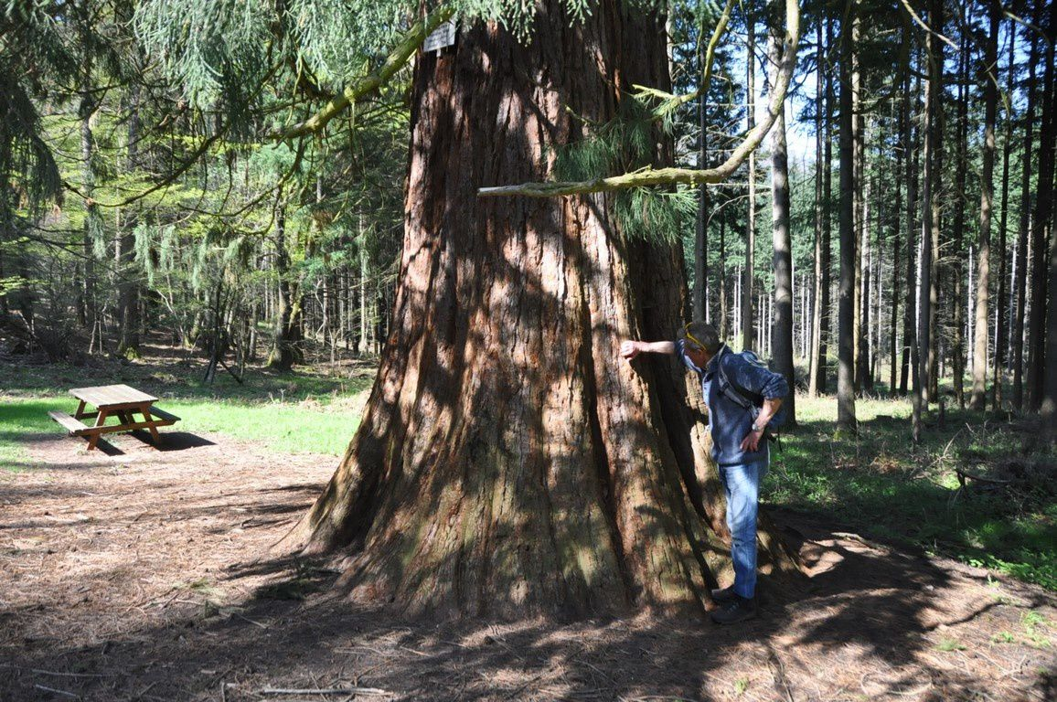 Le superbe Séquoia de Kappelbronn