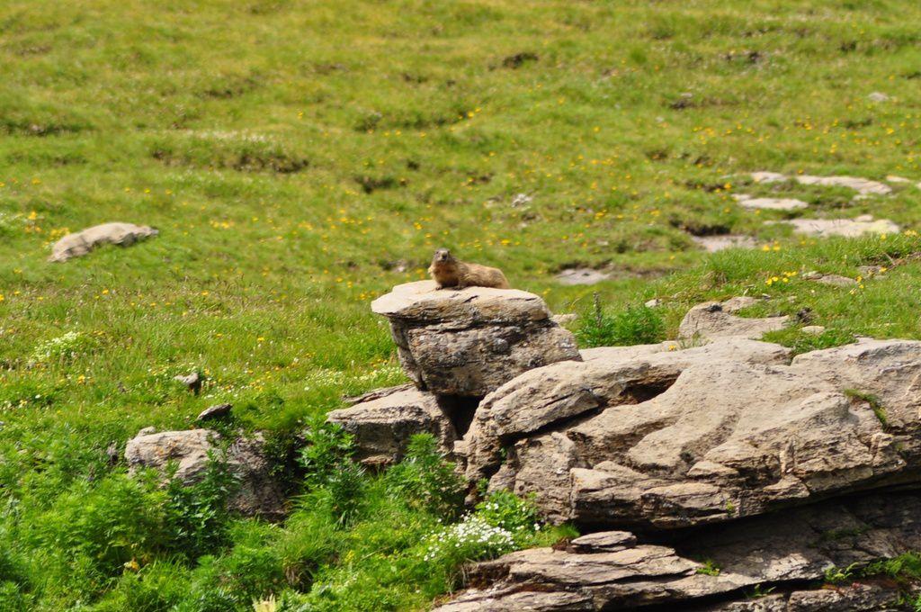 Les marmottes sont là .... adorables , elles surveillent tout !