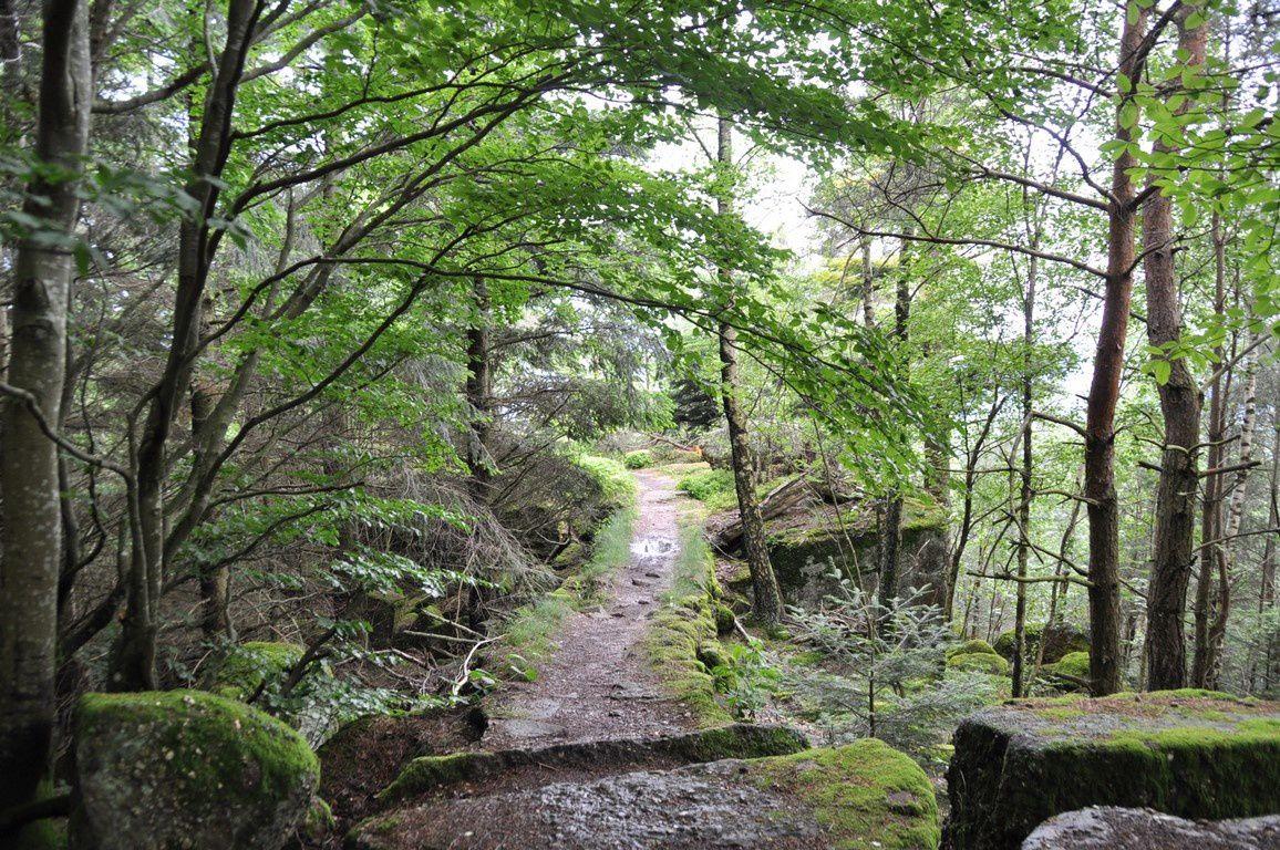 La verdure éclate de partout .... Nous arrivons au Pfaffenlapp.  Un très étroit sentier de roches y conduit dont l'une est entaillée .Serait ce un ancien éperon fortifié ?