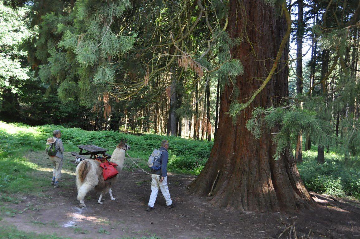 """La sculpture """" la porte de pierre"""" de U. Zarins du carrefour du Partage et le séquoia géant de Kappelbronn planté en 1896, d'une hauteur de 46m"""