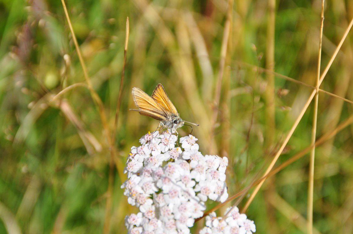 Merveilleuses chaumes et Pierres insolites alternent . Un très beau papillon...Un Hespèrie ?