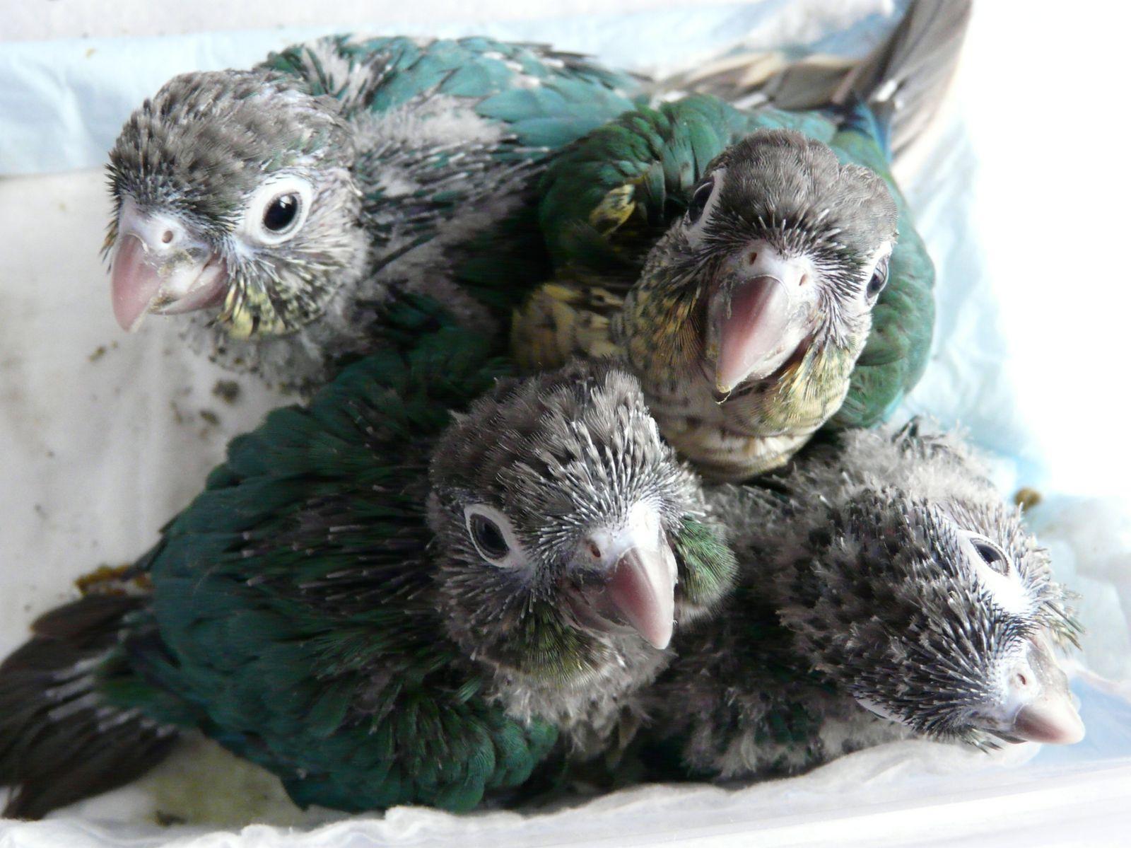 BB turquoise et BB turquoise opaline à 1 mois environ