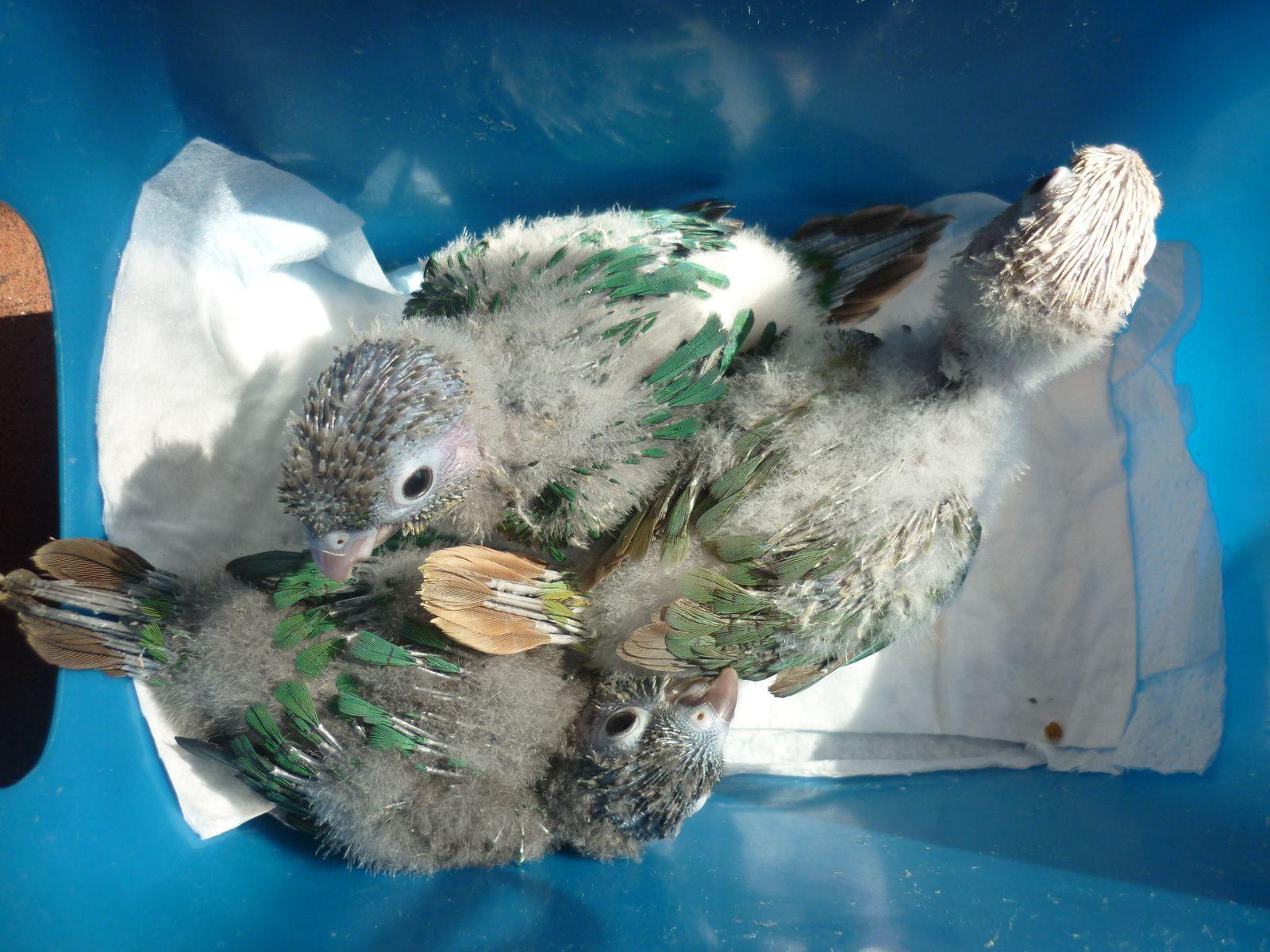 Les premiers BB ont maintenant un mois, on voit clairement une femelle turquoise, un mâle turquoise opaline et une femelle turquoise opaline cinnamon (ananas bleue)