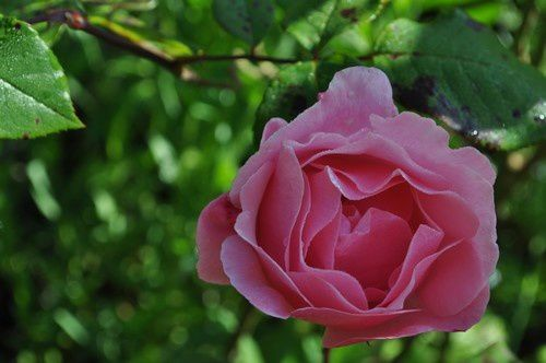 Poésie : Dialogue avec une rose