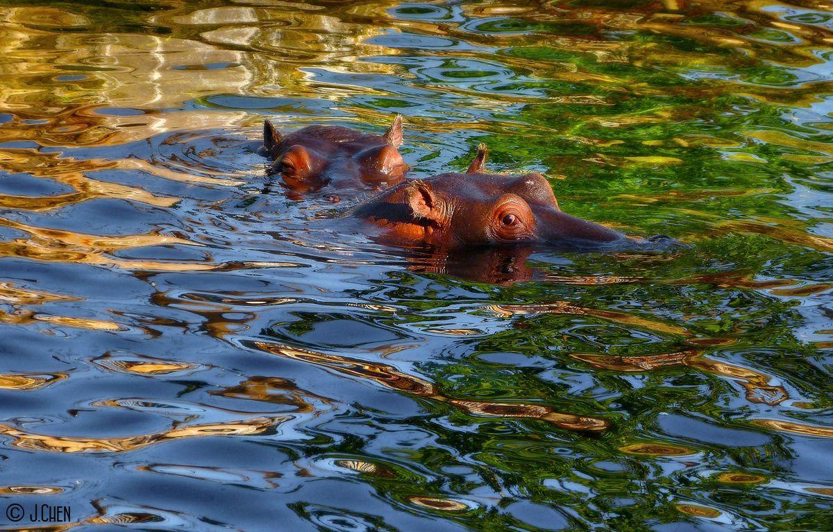 &quot&#x3B;Reflets hippopotamesques&quot&#x3B;