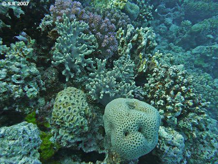 Les Cnidaires d'un récif corallien